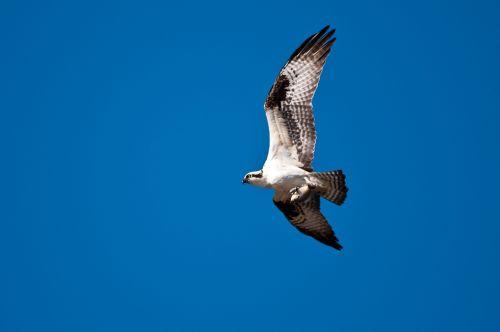osprey fishing hawk hawk