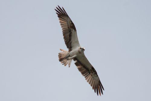 osprey müritz mecklenburgische seenplatte
