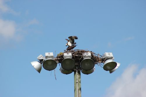 osprey bird nest