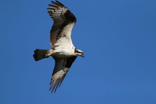 osprey birds blue sky