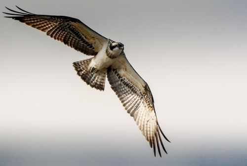 osprey flight raptor
