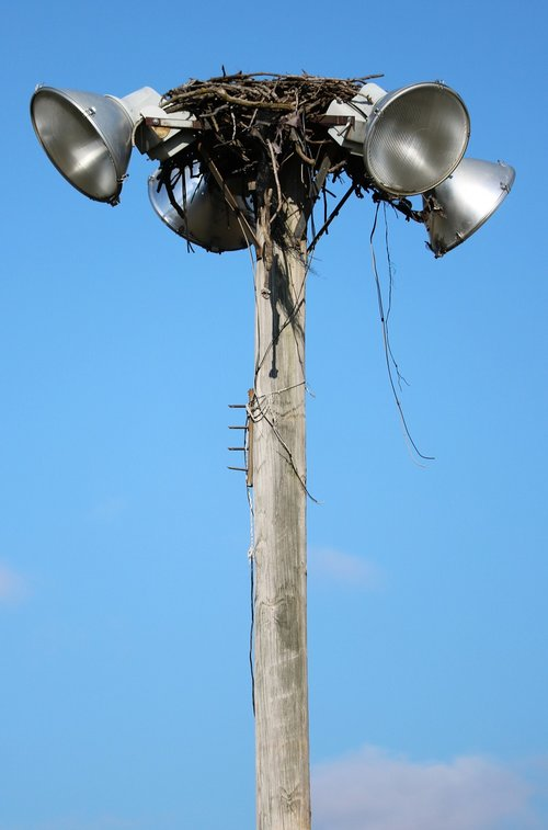 osprey  nest  bird
