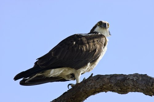 osprey  raptor  talons