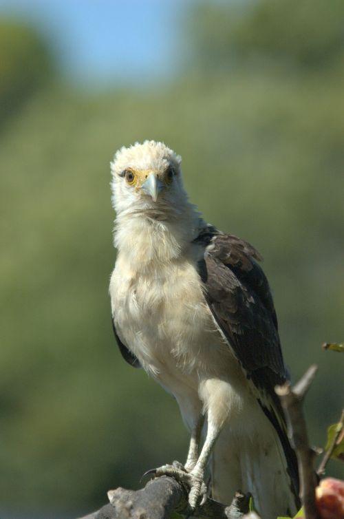 osprey llanos venezuela