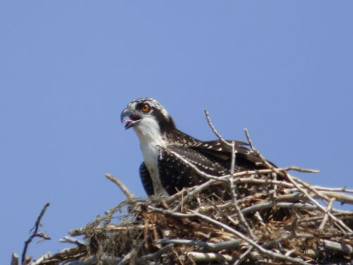 osprey nest nature