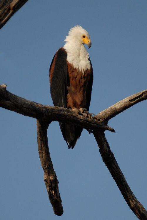 osprey bird adler