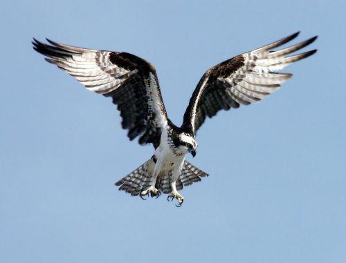 osprey adler bird of prey