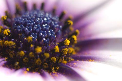 osteospermum african daisy flower