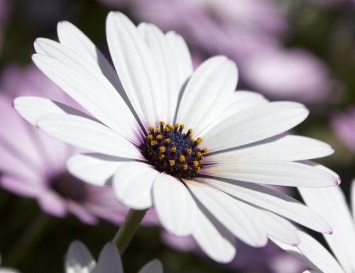 osteospermum african daisy flora