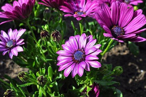 osteospermum  south african daisy  flower