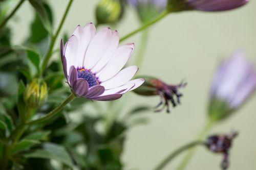 osteospermumo ecklonis,viršukalnės krepšys,bornholm marguerite,gėlė balta,mėlynas,violetinė,marguerite,žiedas,žydėti,gėlė,gamta,augalas,žydėti