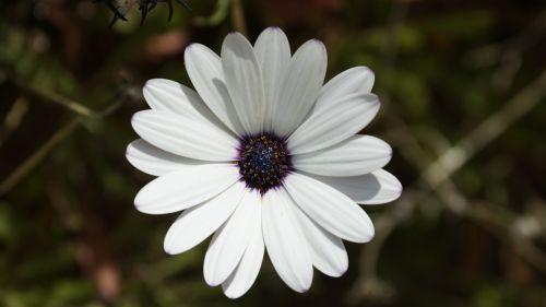 osteospermumo ecklonis,marguerite,osteospermas,cape marguerite,Daisy,gėlė,žydėti,žiedas,balta