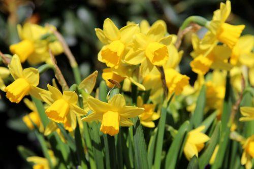 osterglocken daffodils yellow