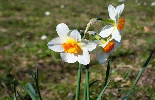 osterglocken flowers daffodils