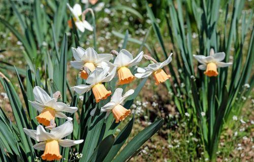 osterglocken flower flowers