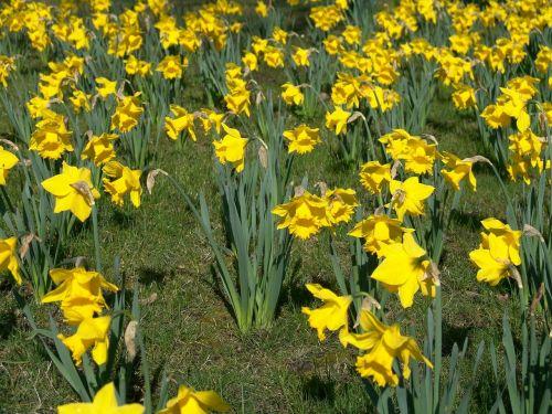 osterglocken daffodils easter