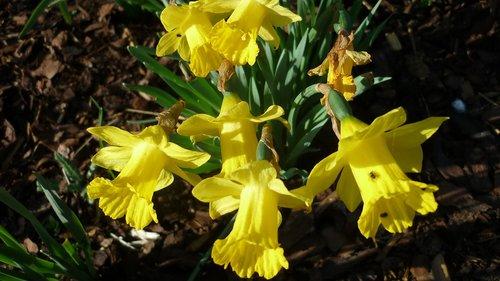 osterglocken  spring flower  yellow