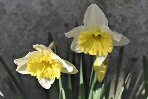 osterglocken  flowers  plant