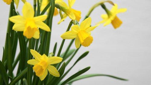 osterglocken  daffodils  spring