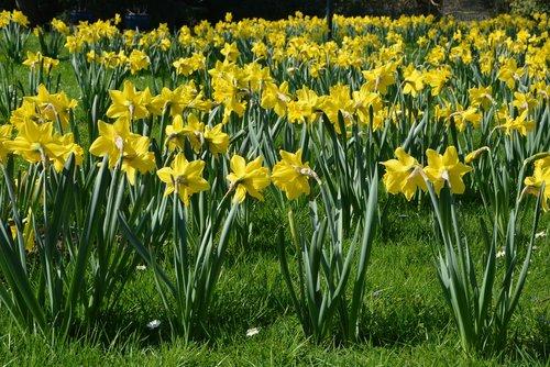 osterglocken  spring  flowers