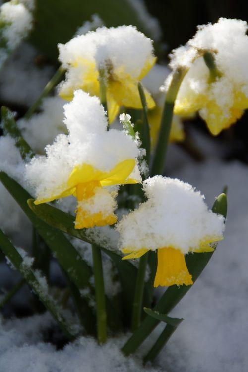 osterglocken daffodils snowy