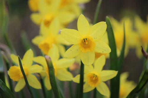 osterglocken yellow flower