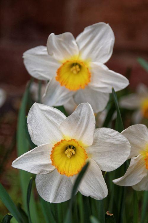 osterglocken flowers spring