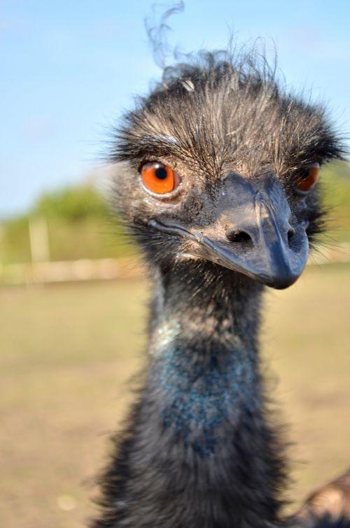 ostrich rhea bird