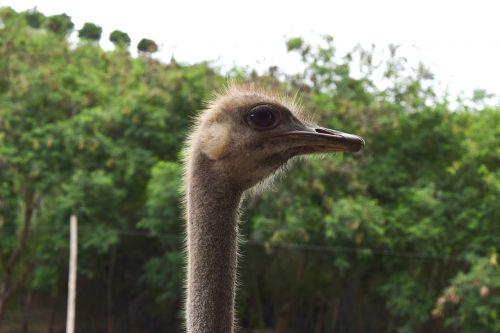 ostrich neck eye