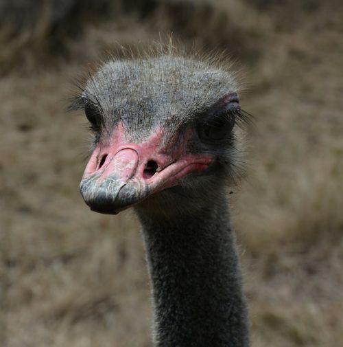 ostrich red beak