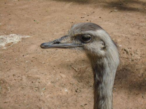 ostrich animal bird