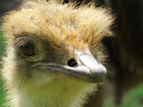 ostrich closeup of ostrich calgary zoo