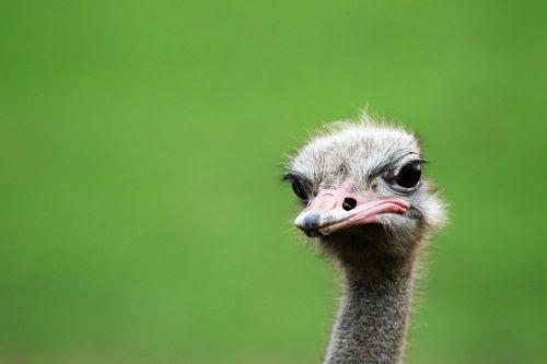 ostrich bird portrait portrait