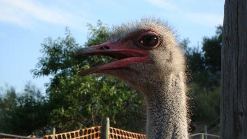 ostrich ave animal