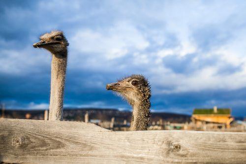 ostrich surprise sorrow