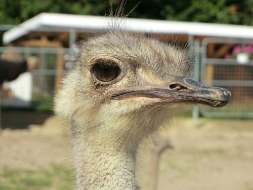 ostrich ostrich farm bird