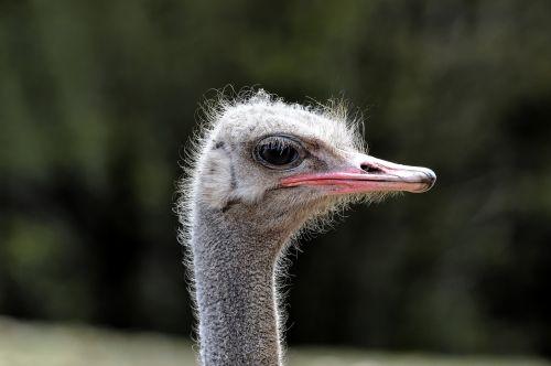 ostrich bird runner
