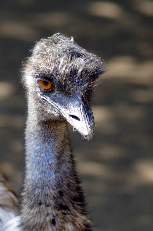 ostrich emu bird