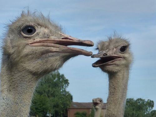 ostrich head flightless bird