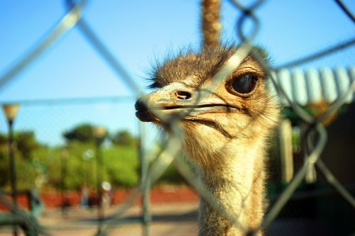 ostrich animal ostrich observing