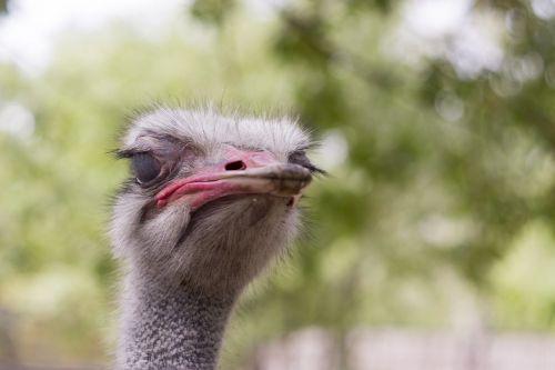 ostrich head animals