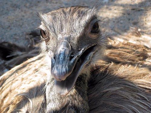 ostrich  bird  flightless