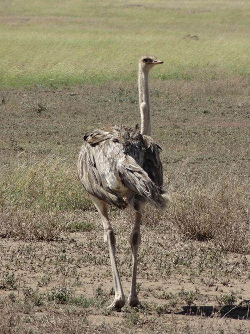 ostrich savannah feathers