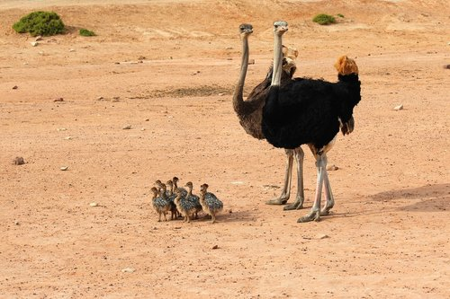 ostrich  ostriches  exotic animals