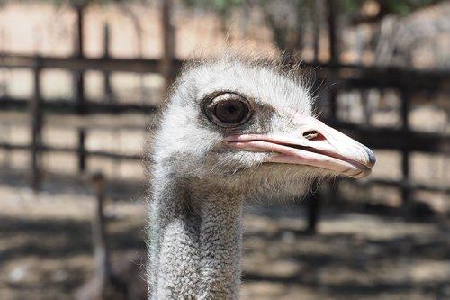 ostrich  south africa  strauss