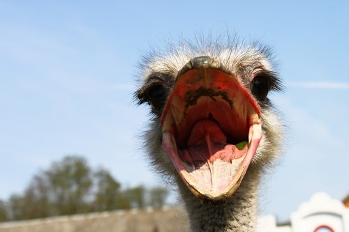 ostrich  nervous system  beak