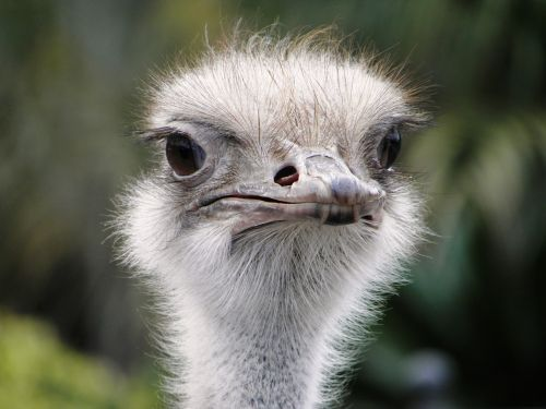 ostrich attention bird