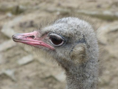 ostrich animal the head of the