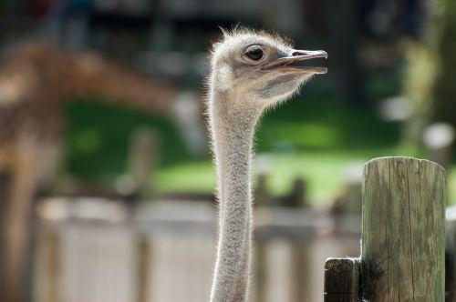 ostrich animal animals