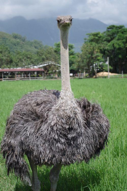 ostrich bird natural